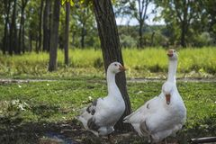 空白的鹅 免版税图库摄影