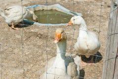 空白的鹅 免版税库存照片