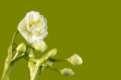 空白的黄水仙 免版税库存图片