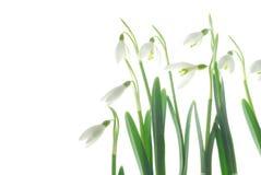 空白的snowdrops 免版税库存照片