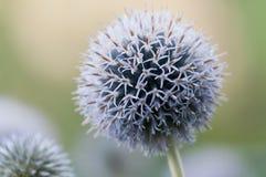 空白紫罗兰色的大蒜 图库摄影