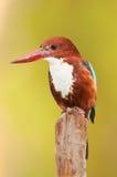 空白红喉刺莺的翠鸟垂直纵向 免版税库存图片