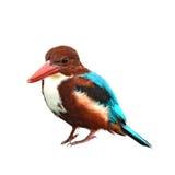 空白红喉刺莺的翠鸟鸟 免版税图库摄影