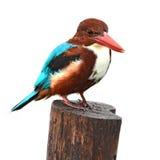 空白红喉刺莺的翠鸟鸟 图库摄影