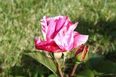 空白红色玫瑰色的污点 图库摄影