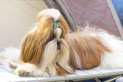 空白约克夏的背景关闭查出的狗 免版税库存图片