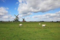 空白羊羔平安地吃草 免版税图库摄影