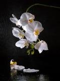 空白美丽的兰花 免版税库存图片