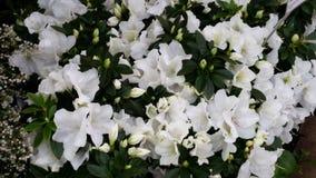 空白美丽的花 库存图片