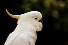 空白美冠鹦鹉纵向 库存照片