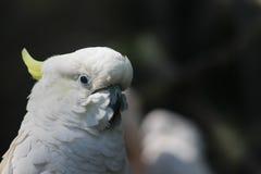 空白美冠鹦鹉 免版税库存图片