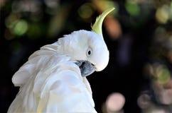 空白美冠鹦鹉 免版税图库摄影