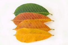 空白背景五颜六色的叶子 免版税库存图片