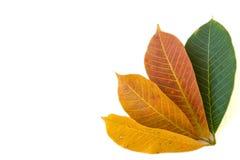 空白背景五颜六色的叶子 库存照片