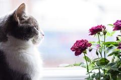 空白背景小猫老明信片的玫瑰 免版税库存照片