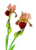 空白背景开花的虹膜 免版税库存图片