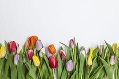 空白背景新鲜的范例文本的郁金香 图库摄影