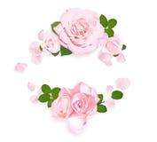 空白背景桃红色的玫瑰 框架上升了 平的位置 顶视图 库存图片