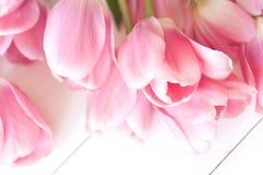 空白背景桃红色的郁金香 免版税库存照片