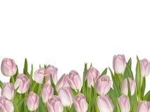 空白背景桃红色的郁金香 10 eps 库存照片