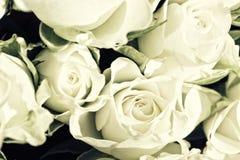 空白背景的玫瑰 库存图片
