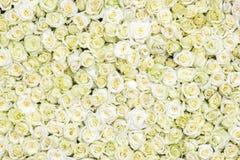 空白背景的玫瑰 免版税库存图片
