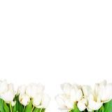 空白背景的郁金香 库存照片