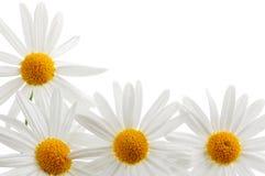 空白背景的雏菊 免版税图库摄影