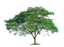 空白背景的结构树 库存图片