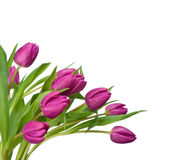 空白背景紫色的郁金香 免版税库存图片