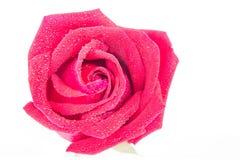 空白背景红色的玫瑰 免版税库存图片