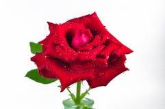空白背景红色的玫瑰 免版税图库摄影