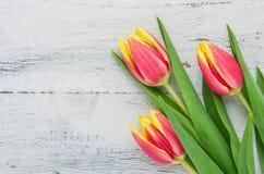 空白背景红色的郁金香 免版税库存图片