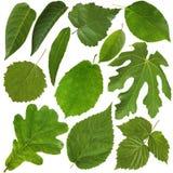 空白背景绿色查出的叶子 干燥标本集 免版税库存照片