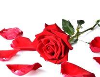 空白背景美丽的红色的玫瑰 免版税库存照片