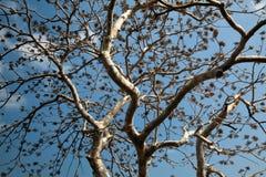 空白色的老的结构树 免版税图库摄影