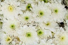 空白菊花 图库摄影