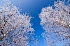 空白蓝色冻结的天空的结构树 库存图片