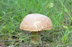 空白蘑菇 图库摄影