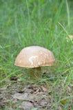 空白蘑菇 免版税库存照片