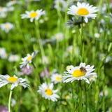 空白蜂的春黄菊 免版税图库摄影