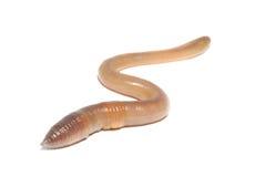空白蠕虫 库存图片