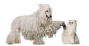 空白被捆绑的标准长卷毛狗 库存图片