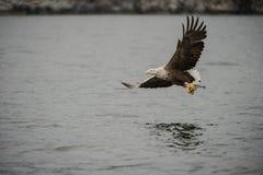 空白被盯梢的老鹰 免版税库存照片