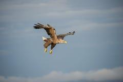 空白被盯梢的老鹰 免版税库存图片