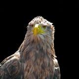 空白被盯梢的老鹰- Haliaeetus albicilla 库存图片