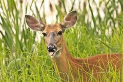 空白被盯梢的鹿 免版税图库摄影