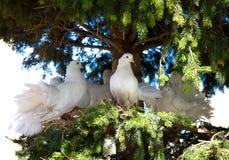 空白装饰的鸽子 图库摄影