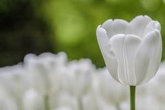 空白郁金香在庭院里 库存照片