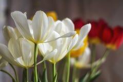 空白郁金香花束 库存图片